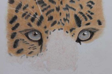Coloured Pencil-Amur Leopard-WIP