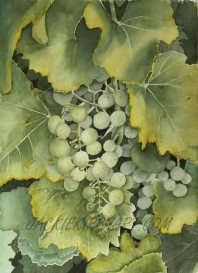 watercolour golden green grapes